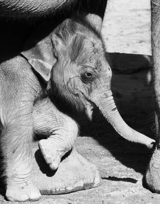 A ten-day unnamed baby elephant girl stands next to her mother Panang at the Hellabrunn Zoo in the southern German city of Munich on November 8, 2011.  AFP PHOTO / PETER KNEFFEL  GERMANY OUT (Photo credit should read PETER KNEFFEL/AFP/Getty Images)