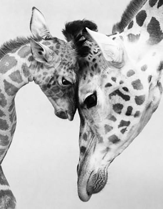 08 giraffe