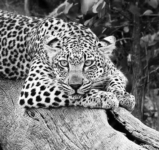 19 Leopard_occhi_azzurri bn